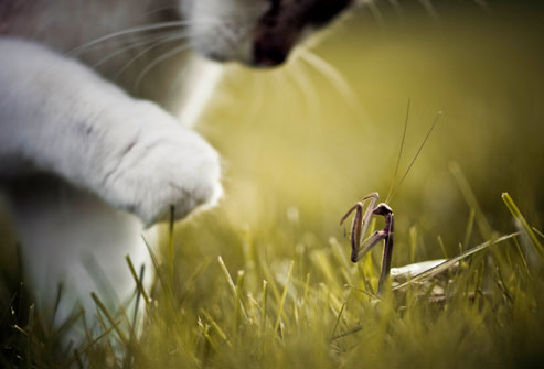 Getty_rf_photo_of_cat_and_praying_mantis